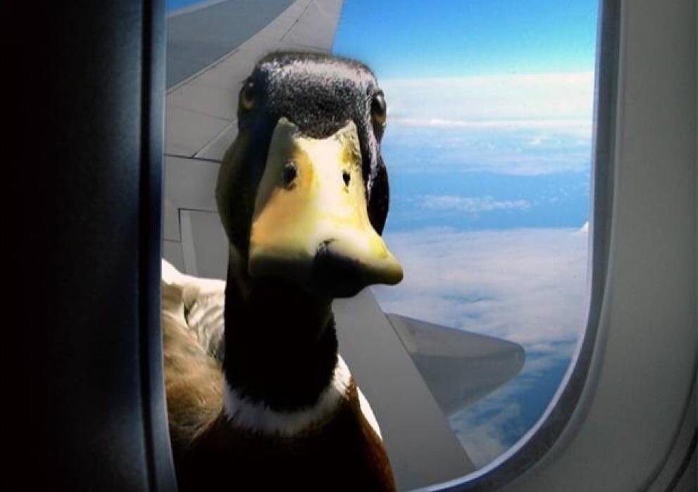 pato-en-avion
